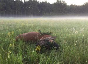 Erfolgreiche Jagd auf Rotwild in Brandenburg